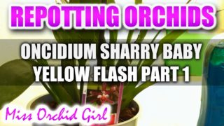 Repotting Orchids – Oncidium Sharry Baby Yellow Flash Part 1
