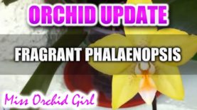 Orchid Update – Fragrant Phalaenopsis