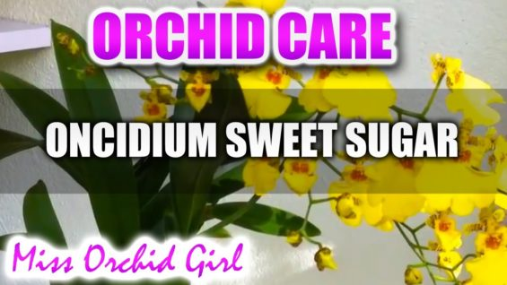Orchid Care – Oncidium Sweet Sugar