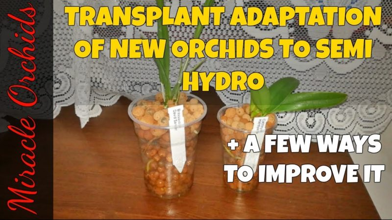 The transplant adaptation of new orchids to semi hydroponics | Converting orchids to semi hydro