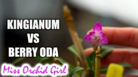 Dendrobium kingianum Vs. Berry Oda – The importance of correct Orchid ID's
