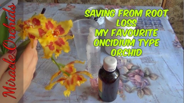 Saving my favourite oncidium type orchid using moss