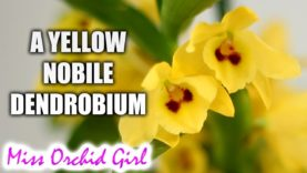 A Yellow Nobile Orchid! – Dendrobium Yellow Magic Festival