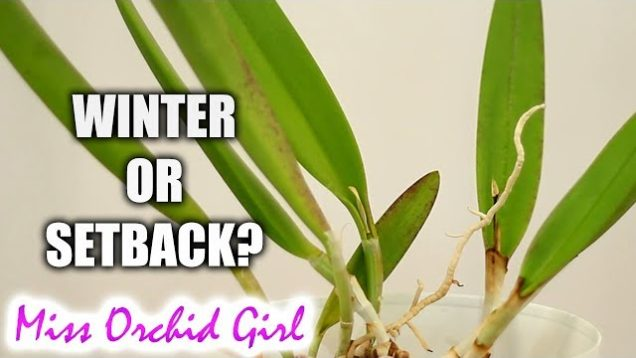 Orchid setback or winter growth? – Which is normal, which is bad