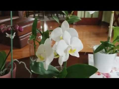 How I'm fertilizing and using calcium and magnesium with my water culture orchids.