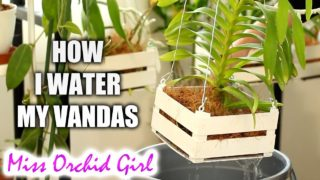 How I water my Vanda Orchids in baskets – Vanda setup explained
