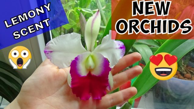 Orchid Unboxing 2018: DELICIOUS Lemony Fragrance