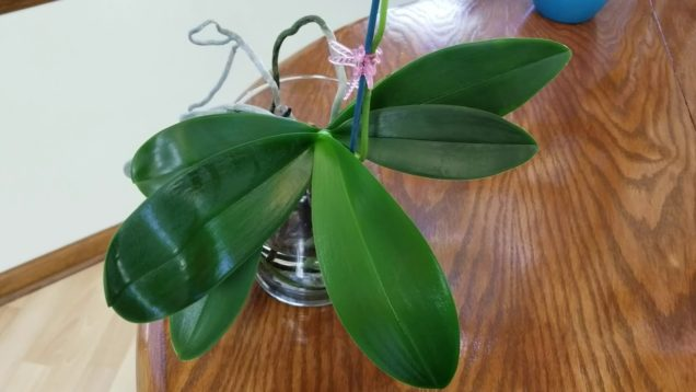 Most commonly asked questions about the water culture growing method for Phalenopsis orchids!