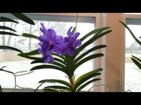 Using Epsom salts on Vanda Pachara Blue for magnesium deficiency & new fertilizer recipe.