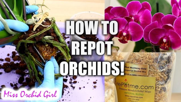 Orchid Care for beginners – How to repot Phalaenopsis Orchids