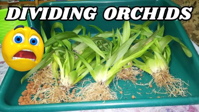 How to Divide Orchids When Repotting