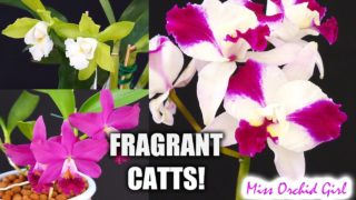 3 Very Fragrant Cattleya Orchids (The green flowered Cattleya opens!)