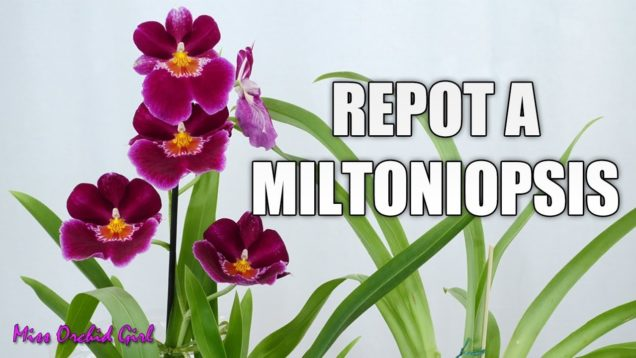 Repotting a new Miltoniopsis Orchid – When and how