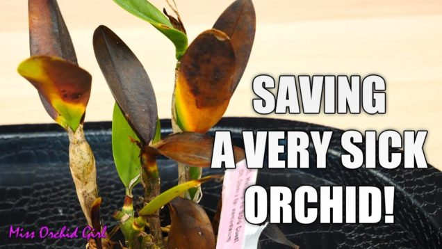 Saving a rotting Orchid – Cattleya with transport damage