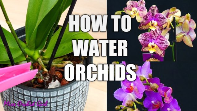 Orchid Care for beginners – How to water Phalaenopsis Orchids