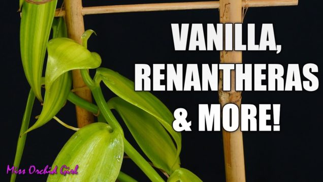 Orchid Updates – Vanilla, rockwool media & more! + YouTube play button is here!