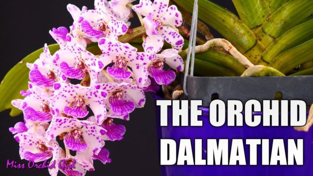 Rhynchostylis gigantea Orchid – Growth habit & Care tips