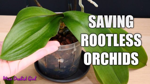 Saving Phalaenopsis Orchid with limp leaves and no roots – About cutting spikes