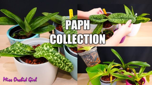 Paphiopedilum Orchid Collection – Updates & how I grow them
