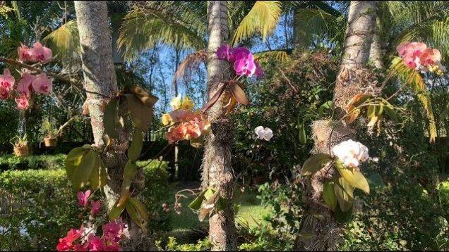 Phalaenopis Orchids, Dendrobium Orchids, How to Mount on Trees 2020 Edition