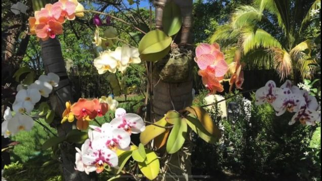 Phalaenopsis Orchids, Phals On Trees Project Part 1