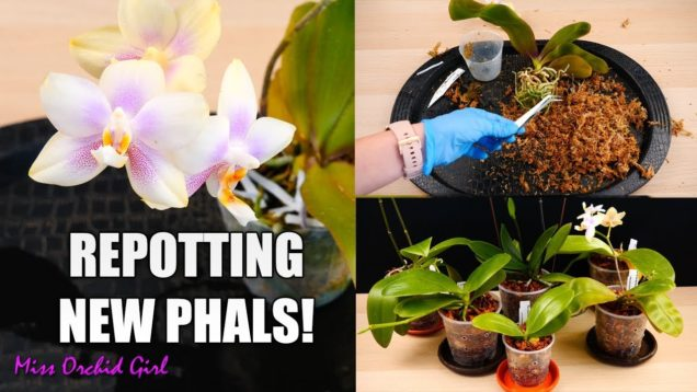 Phalaenopsis Orchids Repotting Party! – New Orchids in new Pots!