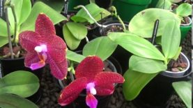 Phaleanopsis and a few others.