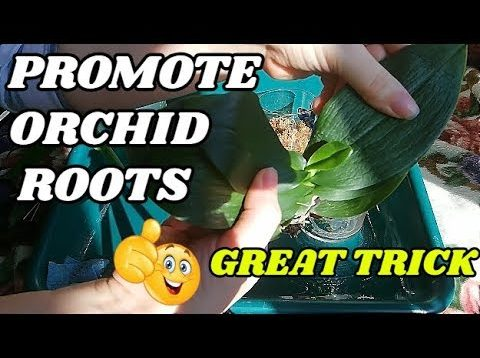 Promoting Root Growth on Orchids using Rooting Paste