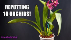 Repotting 10 Oncidium Orchids in one go! – How I handle different sick Orchids