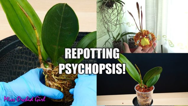 Repotting a Psychopsis Orchid! – The return of the most unique Orchid I ever had!
