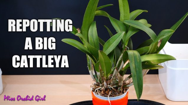 Repotting big Cattleya Orchid with cut pseudobulbs