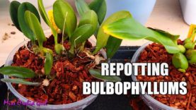 Repotting creeping Bulbophyllum Orchids & tips on suitable setups