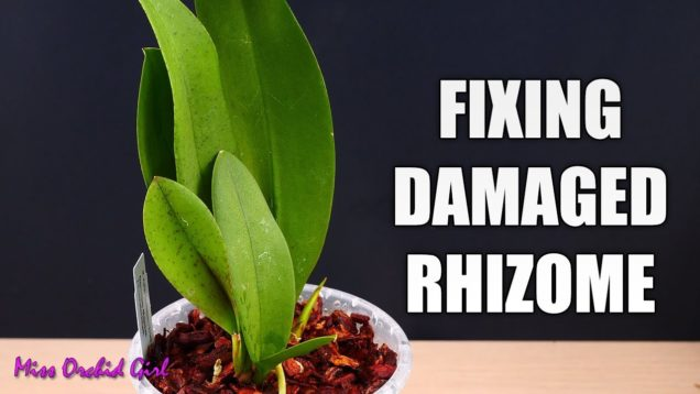 Repotting Mule Ear Oncidium Orchid – What to do with a damaged rhizome