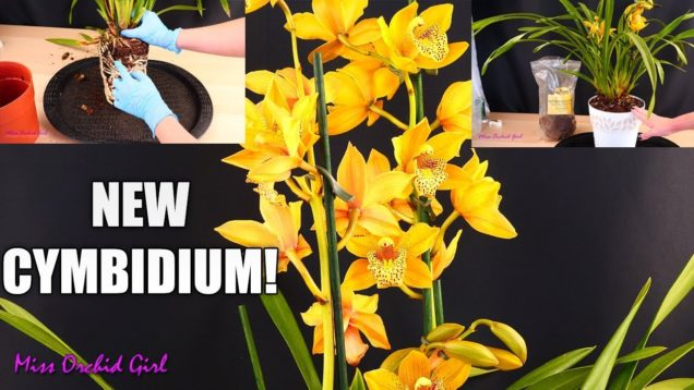 Repotting my new Cymbidium Orchid in rePotme mix!
