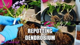 Repotting Unruly Dendrobium Orchid – Potting Keikis with mother plant for a bushier Orchid!