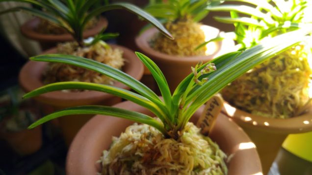 Samurai orchids  –  hunt for the spikes :)