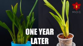 Sick Oncidium Orchids after a Year of Recovery! – Patience pays off 🌱😍