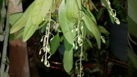 Species Dendrobium Aggregatum are in flower
