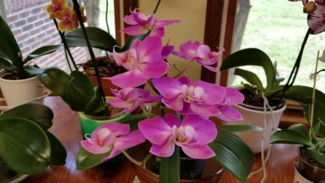 Spring 2019 Fertilizer Recipe for Phalenopsis Orchids!
