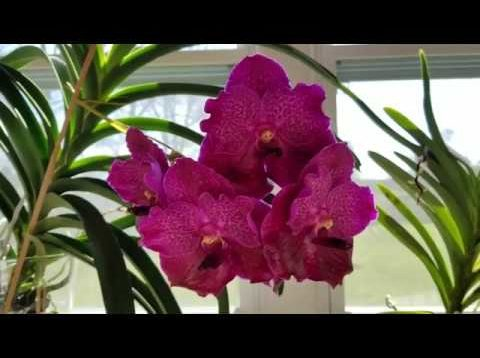 Spring 2019 Vanda care update!  Results of increased fertilizer regimen after 2 months