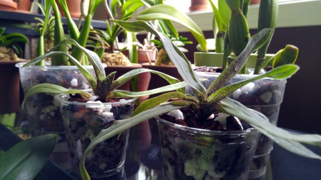 Unboxing new orchids from Orchids in our Tropics