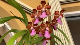 Vanda Orchid Care, Fertilizing and Watering Routine 2020 Edition