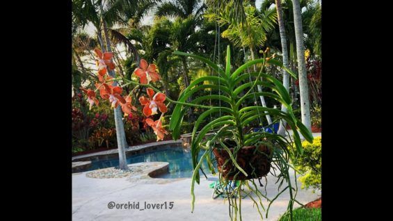 Vanda Orchid Care for Beginners, Watering and Fertilizing Vanda Orchids, Orchid Diva