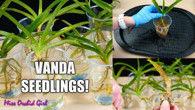 Vanda Orchid Seedlings Project! – I will grow these Orchids from babies to bloom size! 🥳
