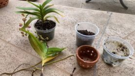 Vanda Orchids, Repotting From Bark To Bare Root, Vanda Orchid Care