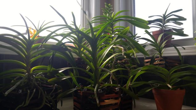 Vanda orchids update October 2020 – new spike and… seed pod???