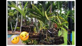 Vanda Updates, Dealing with Fungal Infection, New Roots, Vanda Orchid Care