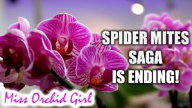 Vegetable oil Vs. Mineral oil against spider mites – Update on treated Orchids