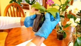 Watch me repot my miniature phalaenopsis in bark.