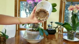 Watch me water my phalenopsis orchids in moss and bark.